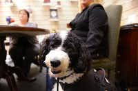 Candy, a grief therapy dog at Rest Haven funeral home in Rockwall, is being trained to take part in the funeral arrangement and visitation process; to comfort guests and relieve stressful situations.( ROSE BACA )