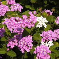 Trailing Lavender lantanas are especially pretty, tumbling over walls and extending over the lips of large patio pots and hanging baskets.( Photo submitted by NEIL SPERRY )