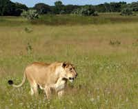 Phinda visitors spend hours watching and photographing a pride of lions in the tall grass.