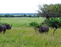 Black rhinos grazing on the savanna in the Phinda Private Game Reserve, where animals roam in protected open spaces.