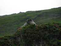 This undated photo shows a marmot peaking out from behind the tundra along the Mount Roberts trail in Juneau, Alaska.