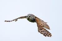 Learn about owl behavior at the Owl Prowl.( Sean Fitzgerald  - © Sean Fitzgerald)