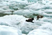 Two harbor seals lounge on icebergs safe from predators in Tracy Arm fjord in Southeast Alaska.April Orcutt