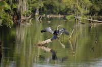 A swamp tour revals a wide range of wildlife, including waterfowl.