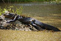 Catch sight of alligators in the wild on a swamp tour.