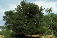 Cedar elm. Micah Pace of the Texas Forest Service highly recommends it because it's tough, tolerating drought and poor soils. It can live on rainwater alone once established. Cedar elms can suffer from powdery mildew and mistletoe, which can disfigure but not kill it.