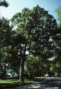 Chinkapin oak. An excellent native shade tree that can withstand drought. It is a good shade tree and has a pretty, serrated leaf, but its fall color is not spectacular. It and the bur oak are members of the white oak family, considered less susceptible to death from oak wilt disease, which is present in North Texas.