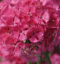 'Bouquet Rose' dianthus