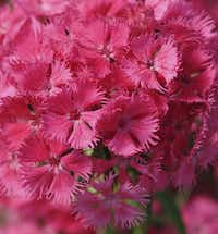 'Bouquet Rose' dianthus