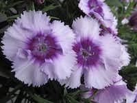 Dianthus, including 'Diana Lavender Picotee,' are in garden shops to plant for winter color.