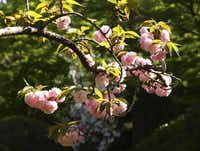 The most reliable and readily available variety of flowering cherry is the Kwanzan (Prunus serrulata Kwanzan), found at the Dallas Arboretum and the Fort Worth Botanic Garden.