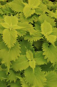 New 'Wasabi' coleus is so intensely green it almost shimmers.