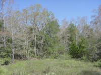 A landscape photograph shot in Central Texas, where the red katydid outbreak is occurring, shows complete defoliation of the native oaks.
