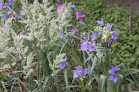 Flowers of western spiderwort mix with Texas bluegrass.