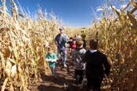 Pumpkinfest at Denver Botanic Gardens' Corn Maze, an eight-acre attraction.