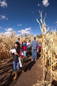 Pumpkinfest at Denver Botanic Gardens' Corn Maze.