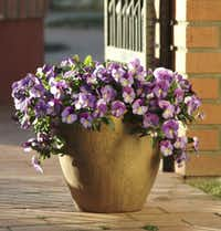 Cool Wave trailing pansy is one of several brought to the retail market for use as a ground cover, in containers and in hanging baskets.