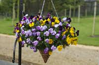 New  'Freefall' pansies in mixed and single colors are a cool-season option for hanging baskets.