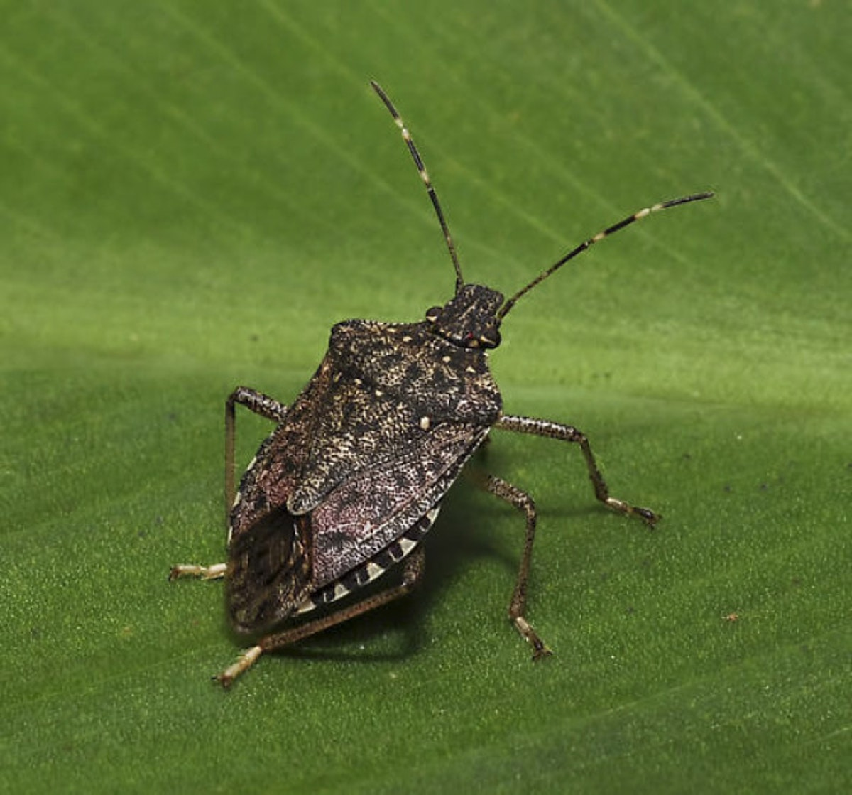 Nasty Nonnative Stink Bug Hits Texas But Not Dallas