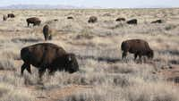 In a country in the throes of political and economic transformation, the bison are the latest sign of a burgeoning conservation movement.
