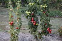 'Momotaros' non-grafted tomato on left. Grafted plant on right shows more and bigger fruit.