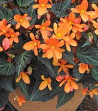 'Sparks Will Fly' begonia for containers or front of landscape bed.