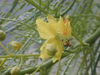 Three species of paloverde trees will be for sale at the Heard Museum's weekend event. Mexican paloverde (Parkinsonia aculeata) is a Texas native and requires full sun. It is a very fast-growing, graceful-looking tree for poor soils, with unusual green bark and a long bloom period. It is drought-, heat-, and saline tolerant. This beautiful but thorny tree does best in spots that are neither too moist nor too dry. With too much moisture, it will seed out aggressively. With too little moisture, it will lose all its leaves.