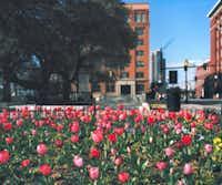 William Greiner, Facing School Book Depository (Tulips), Houston Street, Dallas, TX, C-Print, 2013