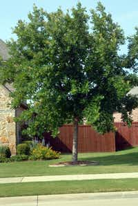 Give the young bur oak tree ample room. It can grow to be 50 feet tall and 50 feet wide. Power lines, rooftops and even other trees can be overrun by it as the tree matures. Plan and plant accordingly.Photo submitted by NEIL SPERRY