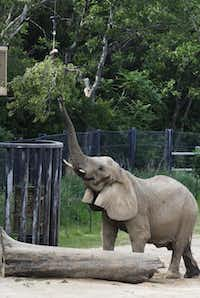 An elephant reaches for fresh browse.David Woo  -  Staff Photographer