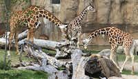 Giraffes, like the elephants, benefit from freshly cut tree limbs, delivered by local arborists to the zoo, to nibble.( David Woo  -  Staff Photographer )