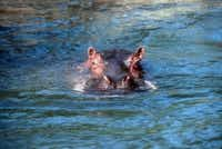 Papa, the last hippo at the Dallas Zoo. died in 2001. (Dallas Zoo)