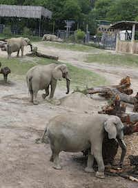 A quartet of elephants at the Dallas Zoo's Giants of the Savanna exhibit eat fresh browse. It takes two to three loads of greenery daily to keep the zoo's five elephants well-fed.David Woo  -  Staff Photographer