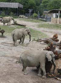 A quartet of elephants at the Dallas Zoo's Giants of the Savanna exhibit eat fresh browse. It takes two to three loads of greenery daily to keep the zoo's five elephants well-fed.( David Woo  -  Staff Photographer )
