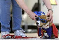 Melissa Boesch fixes the goggles of her beagle Nemo during the 2010 Spokesdog Pageant at the 16th Annual Dog Days of Denton Saturday, May 30, 2009 at Quakertown Park in Denton. Nemo did place in the competition but it was Christie Reyes and her dog Gracie, a Maltese, who won the pageant.