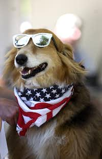 Dude, a Border Collie, competiting in the 2010 Spokesdog Pageant during the 16th Annual Dog Days of Denton Saturday, May 30, 2009 at Quakertown Park in Denton.