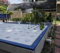 Bob Jordan has several aquaponic systems at his Garland house, including the floating raft system. Two larger systems have a total of about 100 square feet of growing space that will hold almost 300 plants. They take up about one-fourth of his suburban backyard.