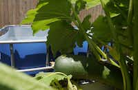Bob Jordan grows zucchini in his fill and drain aquaponic system.