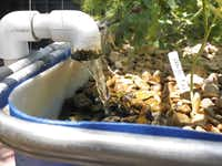 Water continuously circulates in Bob Jordan's fill and drain aquaponic system.