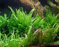 Java fern, cryptocorynes and pygmy chain sword plant populate Nicolai Kraltchev's planted aquarium. He lives in McKinney.