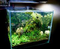 Drinda Jacobson of Joshua also keeps a 65-gallon rimless tank, in addition to her 95-gallon version. The fish are Congo tetras.