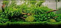 Luis Navarro, lives in Houston, created a lush composition of Java fern from Southeast Asia, broad-leaf anubias and driftwood.