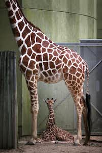 Jasiri, a seven-year-old giraffe, stands over her calf, born June 21, 2013, at Brookfield Zoo, in Brookfield, Illinois.