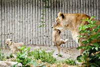 A lioness carries one of her two lion cubs, a male and a female, as they are presented to the public for the first time in Copenhagen Zoo on Wednesday, July 17, 2013. The two lion cubs were born on June 6, 2013.