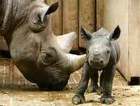 A two-day old black rhinoceros baby stands next to its mother at the zoo in Krefeld, Germany, Monday, July 15, 2013. Its mother Nane, gave birth for the fourth time.