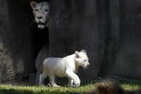 Two white lion cubs and their mother Bandhura explore their enclosure at the Ouwehands Zoo in Rhenen on June 6, 2013. The cubs were born on March 6 and where shown for the first time today to the public.