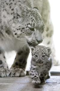 "The female snow leopard ""Milla"", and her baby are pictured in the Zoo de Servion, in Servion, Switzerland, Thursday, July 11, 2013."