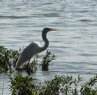 "Voters' Choice selection: From Edward Berard, ""This great egret just had a small fishy snack at White Rock Lake.""Edward Berard"