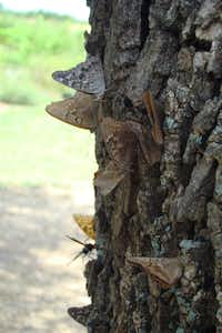 Hackberry and tawny emperor butterflies gather to feed on a mess of banana goop smeared on a tree trunk.