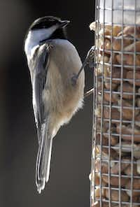 Hungry, my little chickadee? These songbirds are more likely to come to a feeder when the big birds aren't about.
